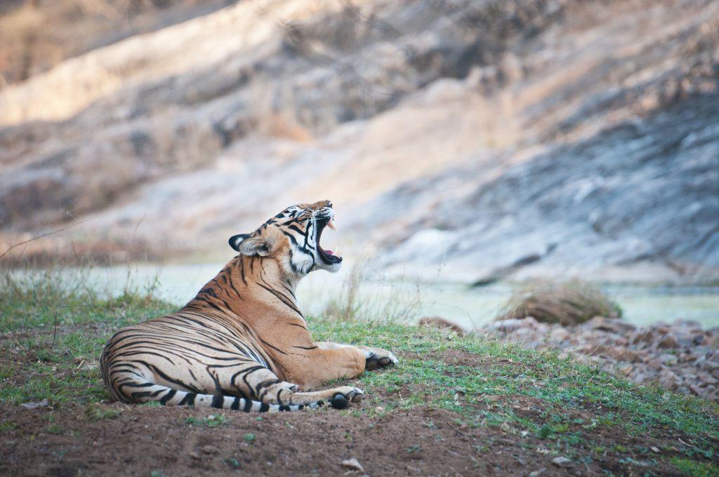 Tiger im Ranthambhore Nationalpark, Indien