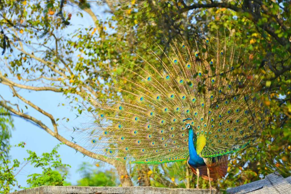 Pfau im Wilpattu Nationalpark in Sri Lanka